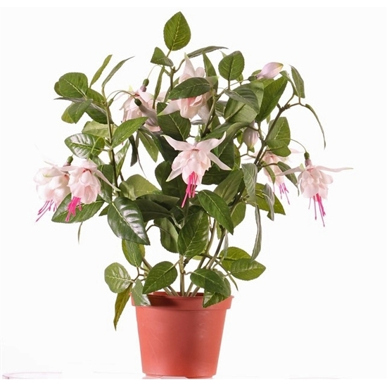 Bellatio flowers & plantsFuchsia plant in pot 30 cm