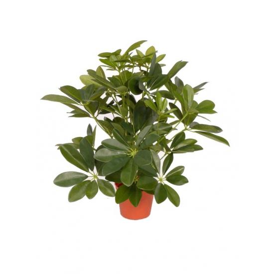 Bellatio flowers & plantsKunst plant schefflera 55 cm