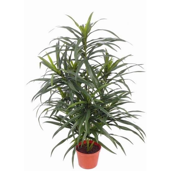 Bellatio flowers & plantsNep dracaena reflexa Anita plant 73 cm