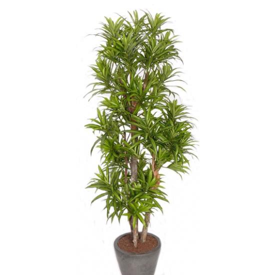 Bellatio flowers & plantsNep plant dracena reflexa 120 cm